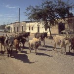 Cattle drive trough the streets of Alamos, Sonora, Mexico. Photo by Anders Tomlinson