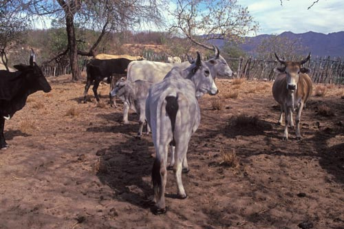 cattle on Mt. alamos, Alamos, Sonora, Mexico.  Photo by Anders Tomlinson