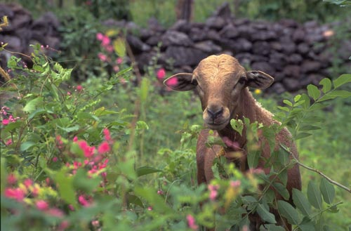 Goat, and wild flowers, Alamos, Sonora, Mexico.  photo by Anders Tomlinson.