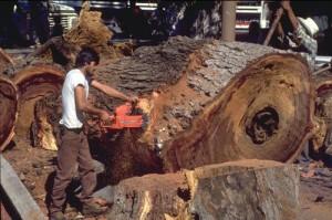 cutting tree in Alameda, Alamos, Sonora, Mexico.