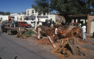 trees fall in Alameda, Alamos, Sonora, Mexico. Photo by Anders Tomlinson.