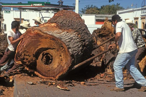moving tree by hand in the Alameda, Alamos, Sonora, Mexico.  Photo by Anders Tomlinson.