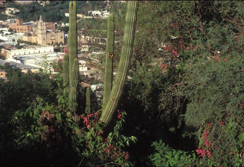 Cactus and brush looking down on Alamos, Sonora, Mexico.  Photo by Anders Tomlinson