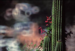 Summer vines grow up cactus, Alamos, Sonora, Mexico. Photo by Anders Tomlinson.