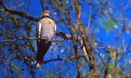 Dove in Alamos, Sonora, Mexico.  Photo by Anders Tomlinson