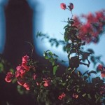 Bougainvillea and the church dome in the background, Alamos, Sonora, Mexico. Photo by Anders Tomlinson