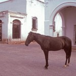 A horse on Calle Comercio, Alamos, Sonora, Mexico. Photo by Anders Tomlinson