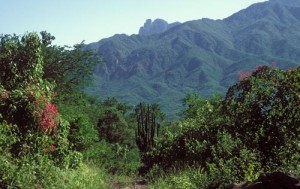 Summer vegetation in the surrounding hills, Alamos, Sonora, Mexico. Photo by Anders Tomlinson.