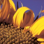 Sunflower on Guadaloupe Hill, Alamos, Sonora, Mexico. Photo by Anders Tomlinson.