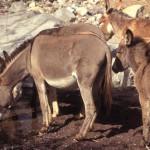 burros drinking watr in la aduana, sonora, mexico. photo by anders tomlinson.