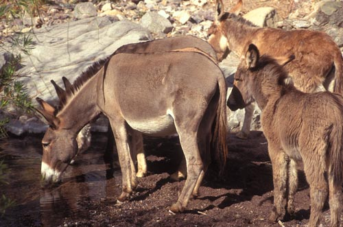 burros drinking watr in la aduana, sonora, mexico.  photo by anders tomlinson.