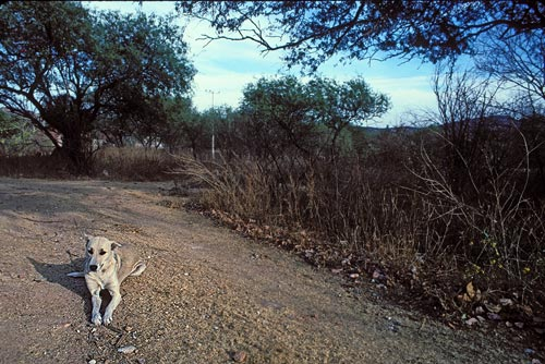 The cook's dog rests in their drive way just to the west of the airport runway.  alamos sonora mexico.  photo by anders tomlinson.