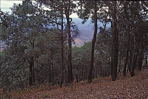 pines forest at the top of sierra de alamos overlookiung alamos, sonora, mexico.  photo by anders tomlinson.  1995.